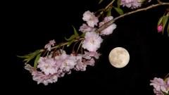 サンレイクかすやの夜桜