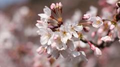伊野天照皇大神宮の桜2016